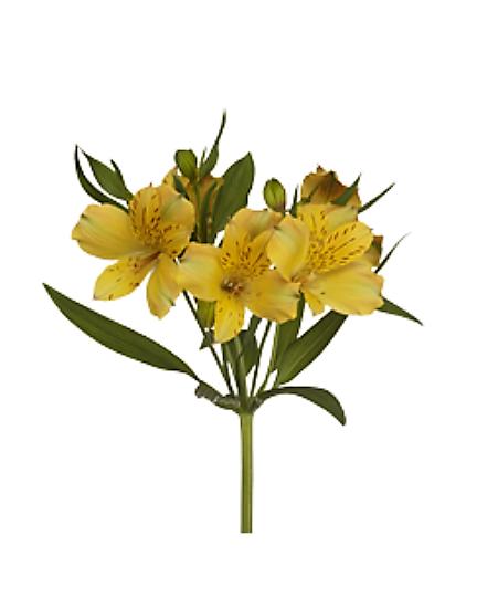 Alstroemeria žltá