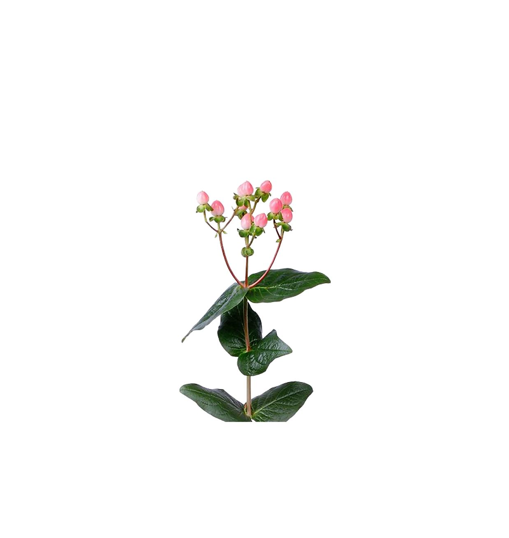 Hypericum ružové