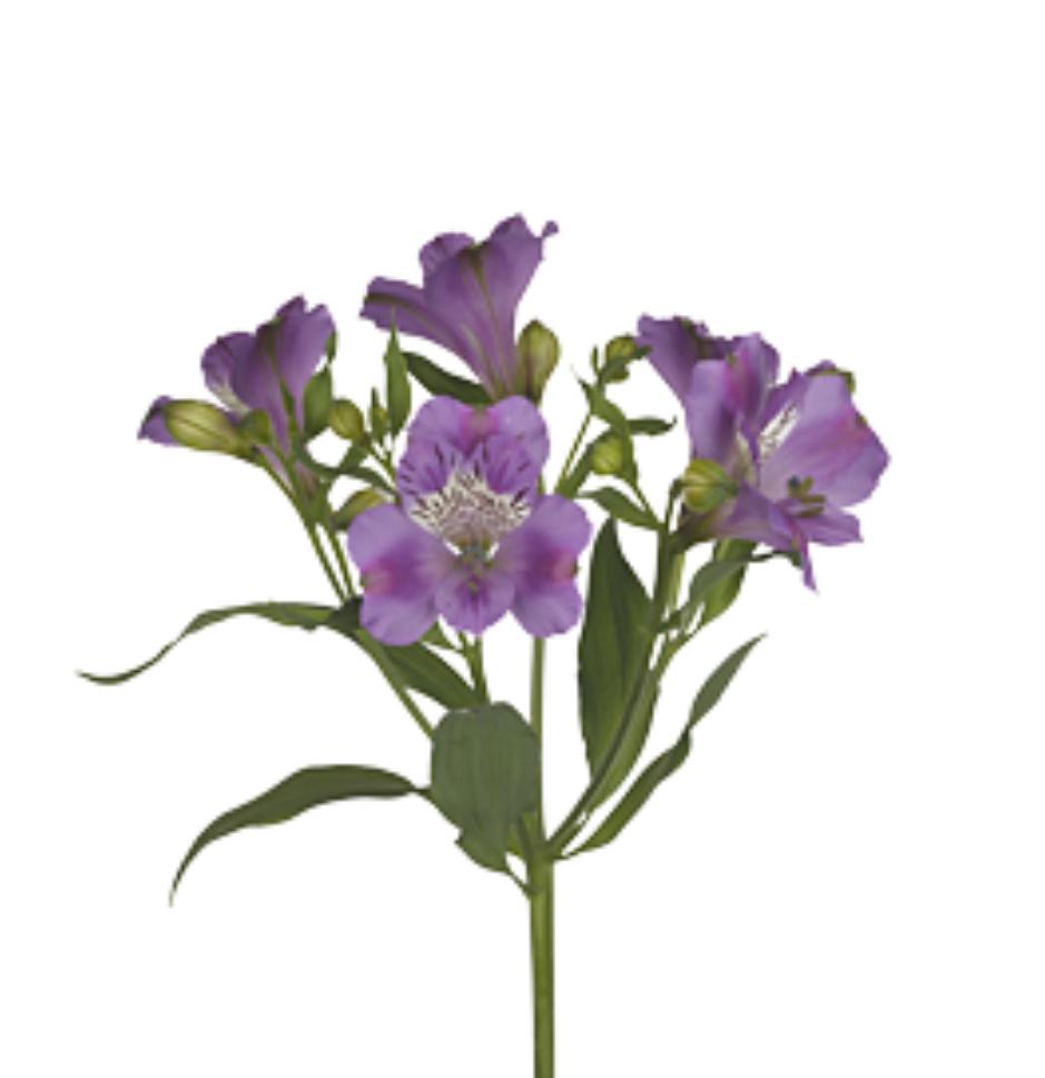 Alstroemeria fialová