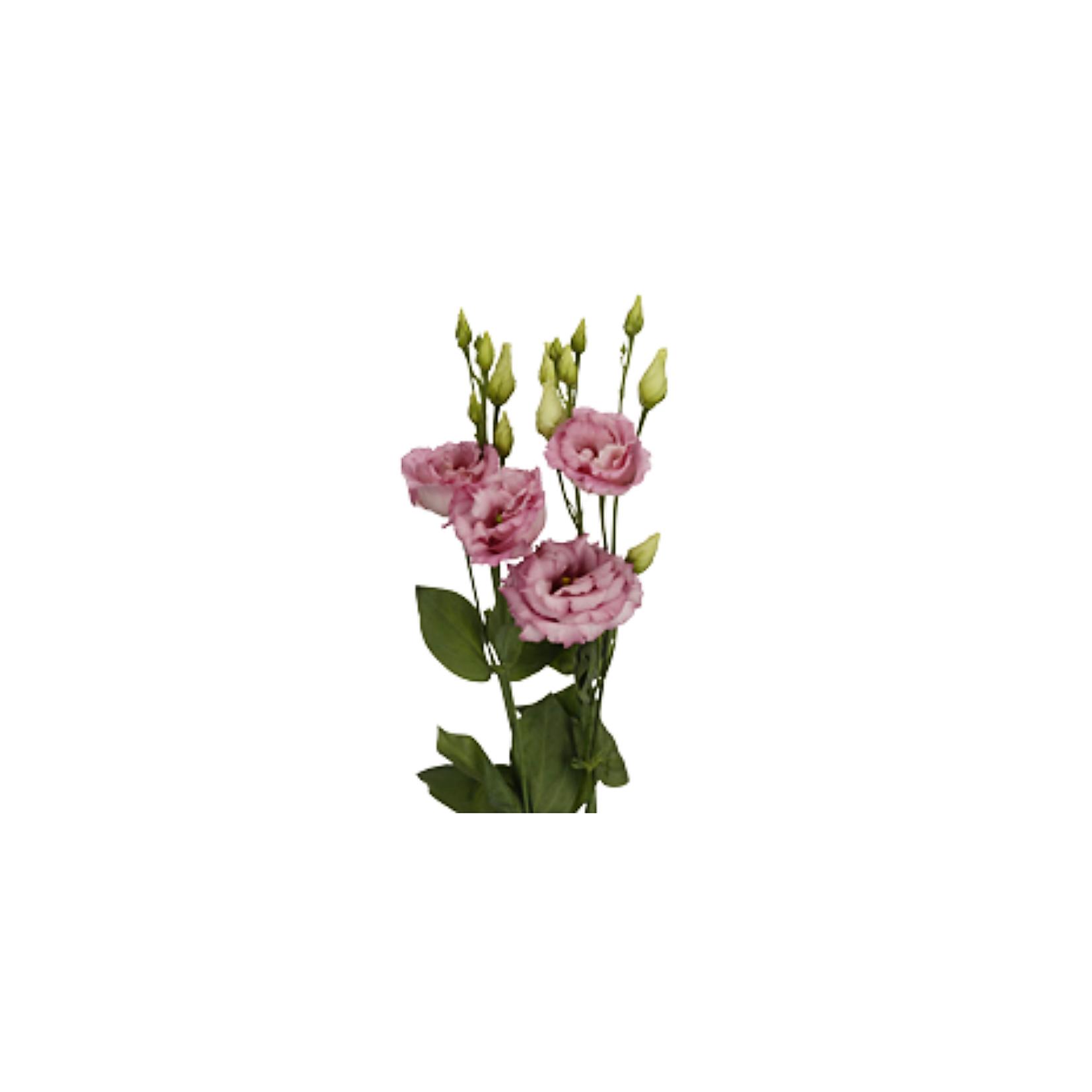 Eustoma ružová